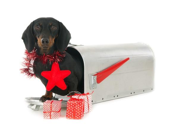 Jamnik wychodzący ze skrzynki na listy ze świątecznymi prezentami.