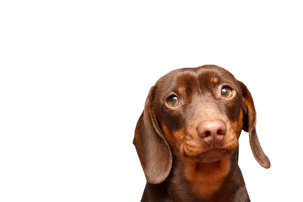 Jamnika pies odizolowywający nad białym tłem. zamknij się portret.