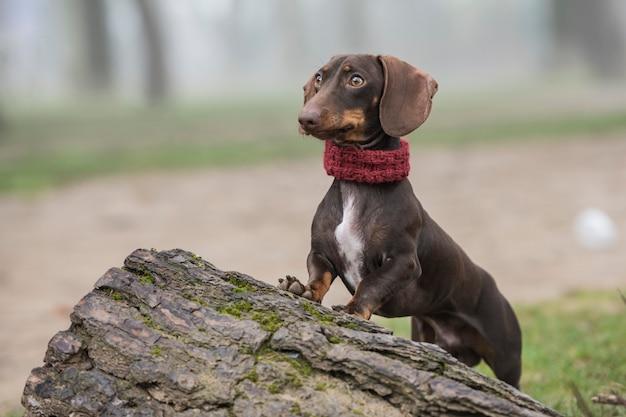 Jamnika pies opiera na drzewnym bagażniku w polu
