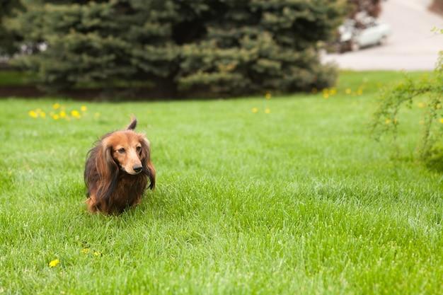 Jamnika psi bieg na trawie. szczęśliwy zwierzak w naturze. letni nastrój.