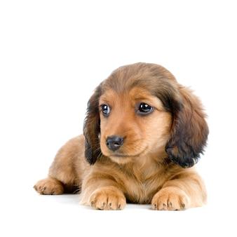 Jamnika szczeniaka psa portret odizolowywający