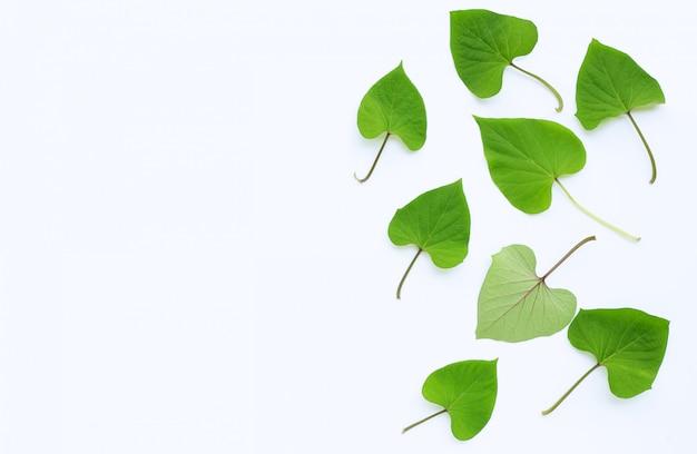 Japońscy batatów liście na bielu