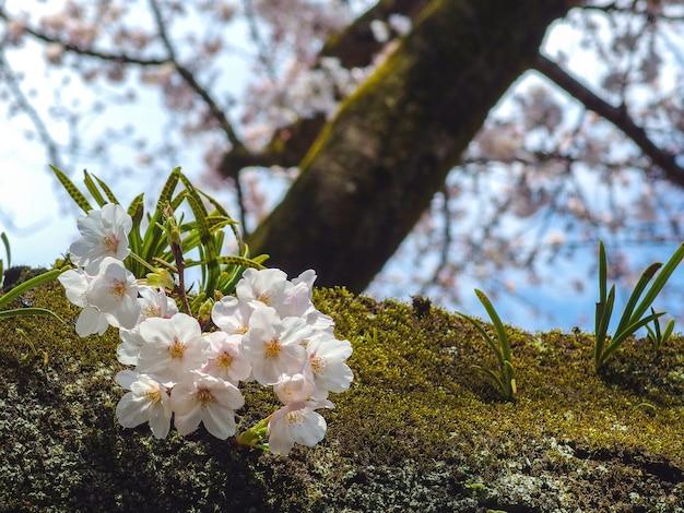 Japońska biała czereśniowych kwiatów sakura kwiatów gałąź