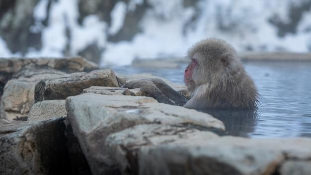 Japońska małpa śnieżna cieszy się kąpielą na świeżym powietrzu i relaksuje w gorących źródłach onsen zimą. dziki makak, który wchodzi do ciepłego basenu znajdującego się w parku jigokudan w nakano w japonii.