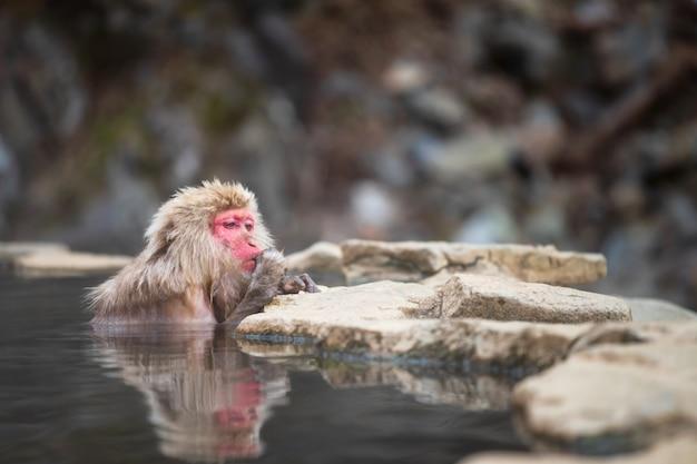 Japońska małpa śnieżna je podczas kąpieli w gorącym źródle w parku jigokudani yamanouchi nagano japonia