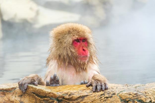 Japońska małpa śnieżna (makak) relaksuje się w gorącej wiośnie zimą w parku śnieżnych małp.