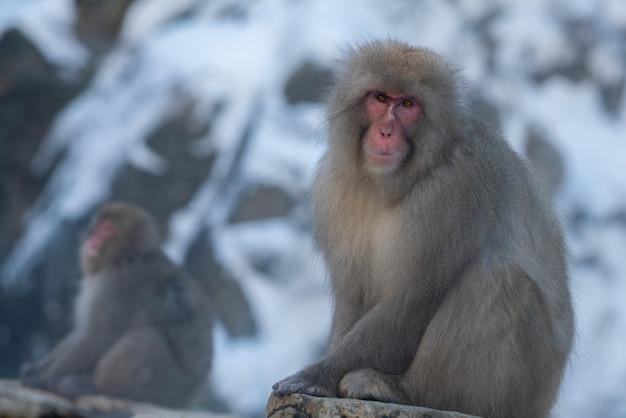 Japońska małpa śnieżna w pobliżu gorących źródeł onsen w zimie. dziki makak na skale ciepłego basenu w parku jigokudan, nakano, japonia. macaca fuscata w sezonie zimowym w górach
