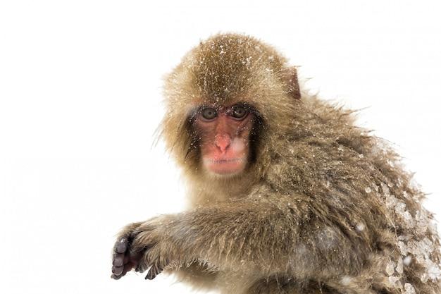 Japońska małpa śnieżna