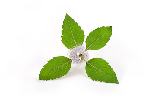 Japońska mięta lub mięta kukurydziana, zielone gałęzie i kwiaty na białym tle.