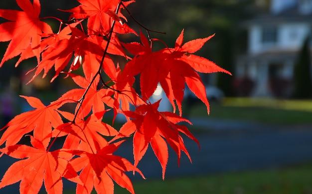 Japoński czerwony klon liście w słoneczny jasny dzień