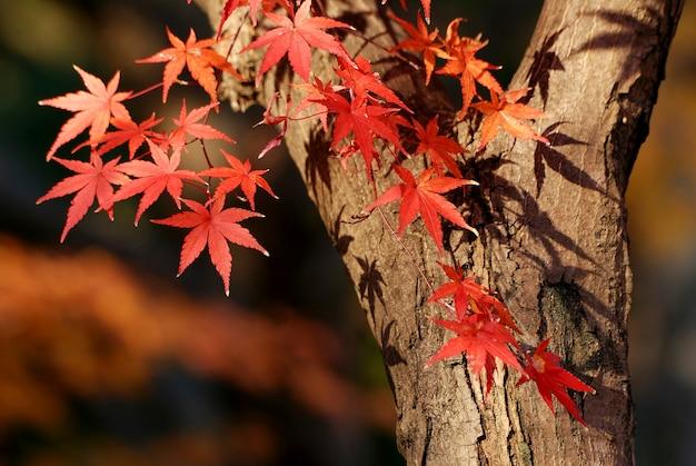 Japoński klon z bliska czerwone liście, skupić się na lewych czerwonych liściach