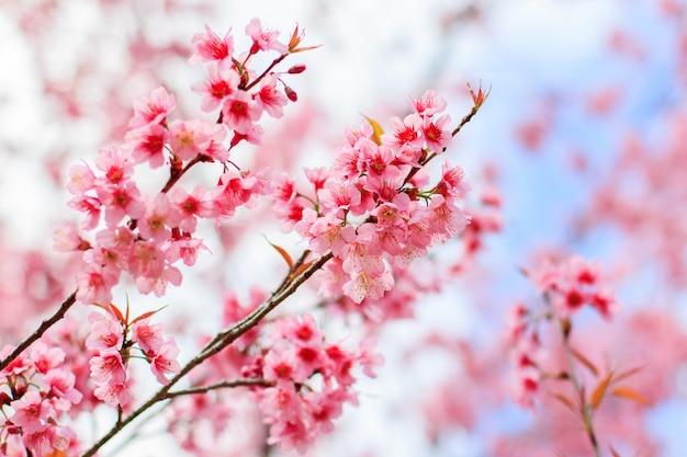 Japoński kwiat wiśni na wiosnę