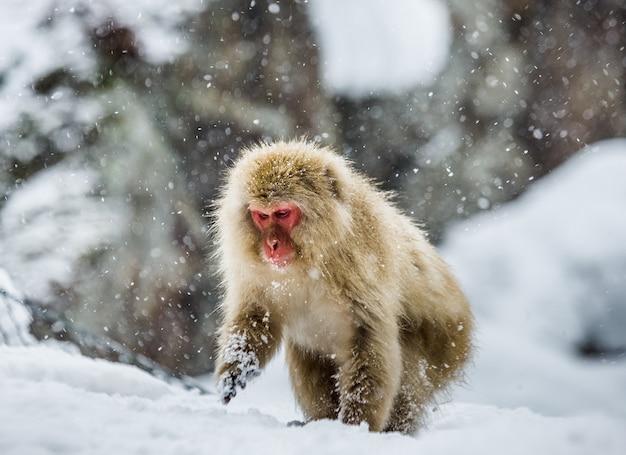 Japoński makak siedzi na śniegu. japonia. nagano. jigokudani monkey park.