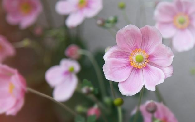 Japoński różowy kwitnący kwiat anemonu zbliżenie delikatny fioletowy kwiat naturalne tło