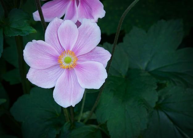 Japoński różowy kwitnący kwiat anemonu zbliżenie naturalne tło