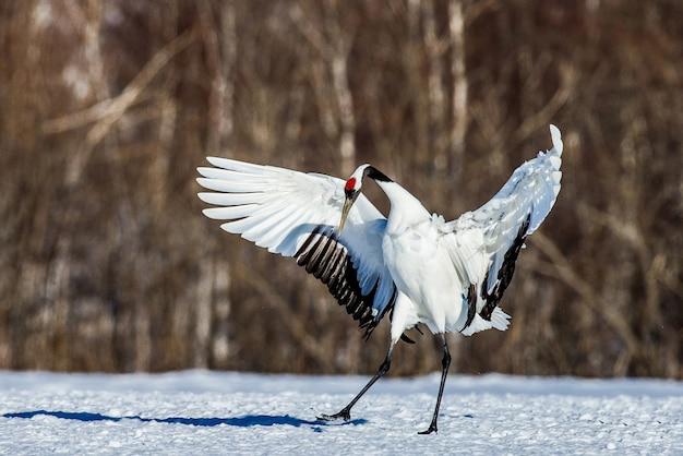 Japoński żuraw rozłożył skrzydła