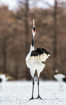 Japoński żuraw stoi na śniegu