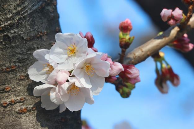 Japońskie białe wiśniowe kwiaty sakura kwiaty oddział na tle niebieskiego nieba.