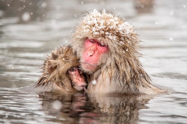 Japońskie małpy śnieżne siedzą w ciepłych łaźniach termalnych. mama przytula swoje małe dziecko, na głowie mamy czapkę śnieżną. pada śnieg