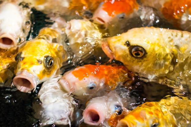 Japońskie śmieszne fantazyjne karpie koi ryby z prośbą o jedzenie