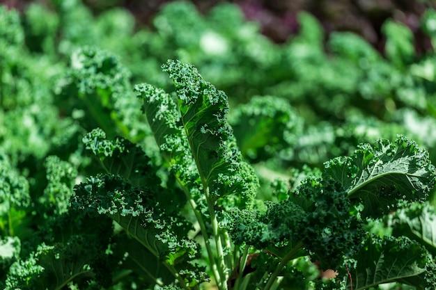 Jarmuż kędzierzawy na naturalnej glebie organicznej. jarmuż jest zdolny do warzyw zimowych