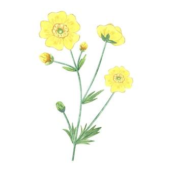 Jaskier z żółtymi kwiatami