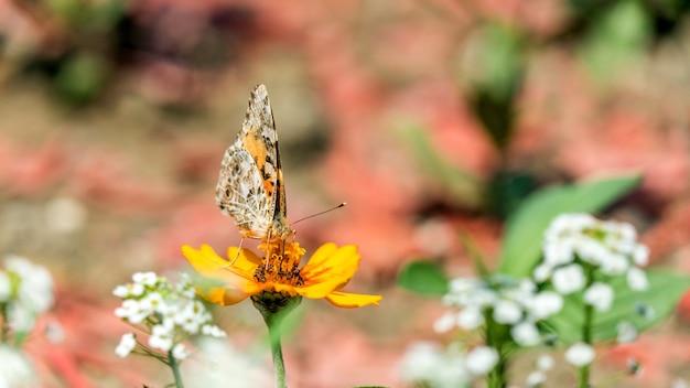 Jaskółczy ogon lub grusza paź królowej na kwiat kosmosu w soczi w rosji