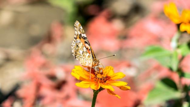 Jaskółczy ogon lub grusza pazia paź paziowaty na kosmosie kwiat w ogrodach paź paź pazia na kosmosie w soczi,