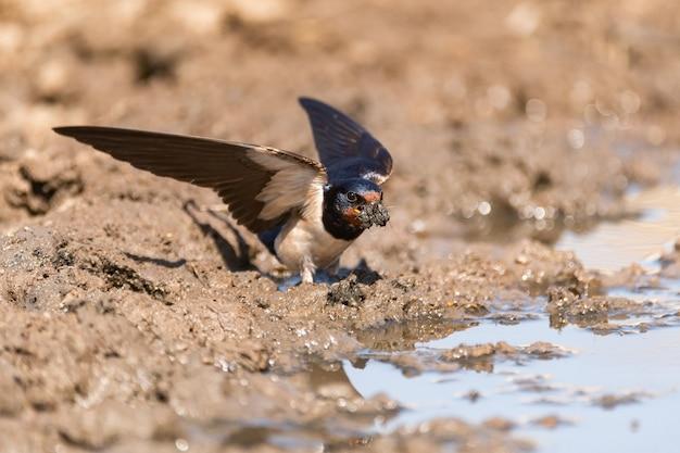 Jaskółka płomykówka hirundo rustica zbierająca do pyska błoto, aby zbudować gniazdo.
