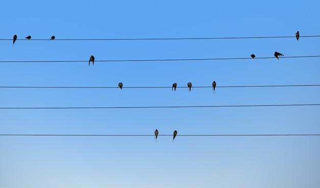 Jaskółki siedzą na drutach elektrycznych.