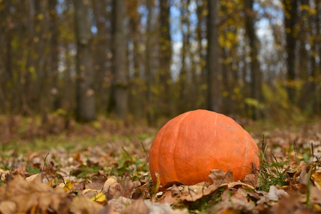 Jaskrawa żółta bania kłama na jesieni ulistnieniu w lesie, halloween