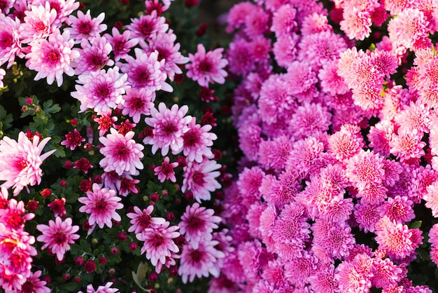 Jaskrawe kwitnące chryzantemy w kwitnącym ogródzie w jesieni
