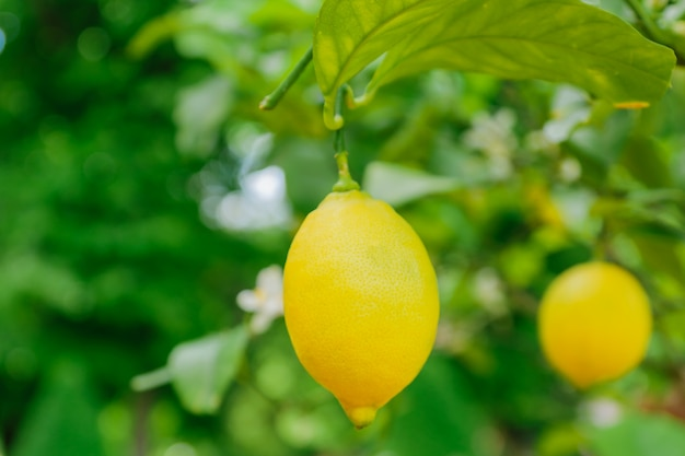 Jaskrawe soczyste cytryny wiesza na drzewie. rosnące owoce cytrusowe, nieostrość