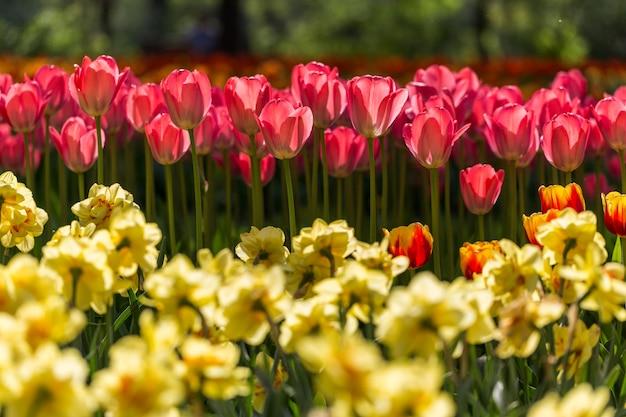 Jaskrawi kwiatonośni kolorowi kwiatów tulipany w ogródzie