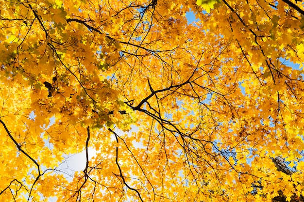 Jaskrawi żółci liście klonowy drzewo na niebieskiego nieba tle. piękny żółty drzewo w parku