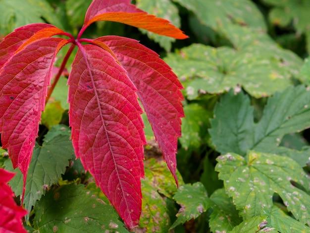 Jaskrawoczerwone liście bluszczu z dzikich winogron sezon jesienny roślina pnąca od zieleni do jesiennej czerwieni