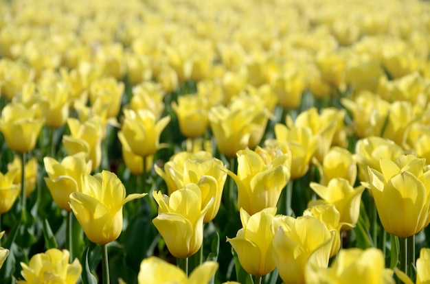 Jaskrawy kolorowy żółty tulipan kwitnie w wiosna czasie