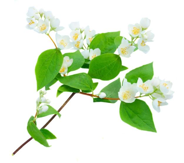 Jasmine świeże kwiaty i liście gałązka na białym tle