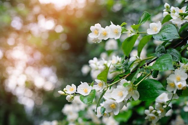 Jaśminowe wiosenne kwiaty z kroplami deszczu