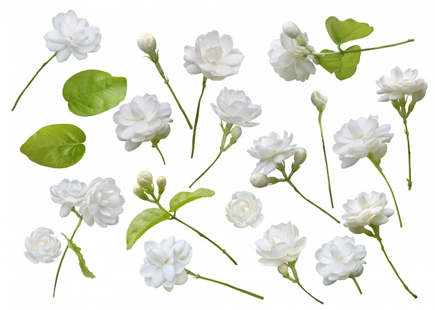 Jaśminowy kwiat na białym tle
