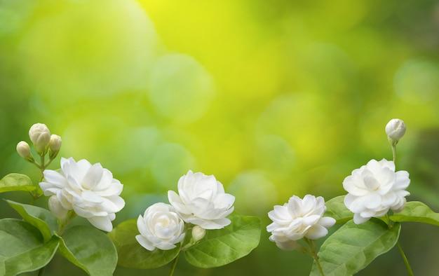 Jaśminowy kwiat tło