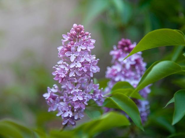 Jasna kwitnąca gałąź bzu wiosna w tle selektywna ostrość