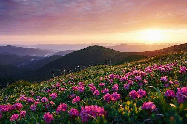 Jasna różowo-zielona łąka. majestatyczne karpaty. piękny krajobraz. widok zapierający dech w piersiach.