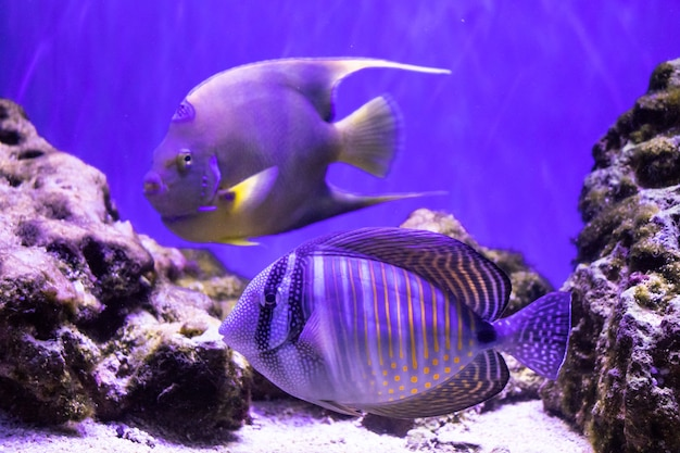Jasna tropikalna ryba na rafie koralowej duże stado ryb pływa pod wodą