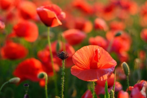 Jasne czerwone kwiaty maku. nieostrość. kolor zachodzącego słońca.
