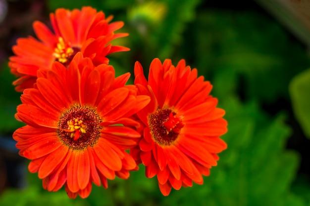 Jasne czerwone kwiaty na zielonym tle, kosmos kwiat