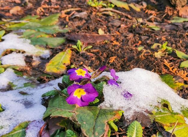 Jasne fioletowe kwiaty wczesną wiosną w słoneczny dzień pod topniejącym w słońcu śniegiem