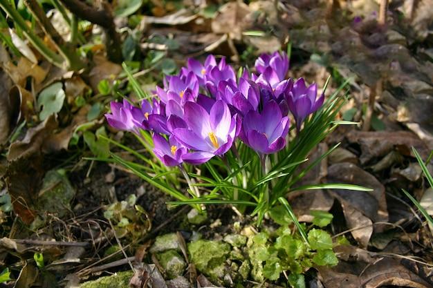 Jasne i delikatne wiosenne fioletowe krokusy w ogrodzie w wczesny słoneczny poranek