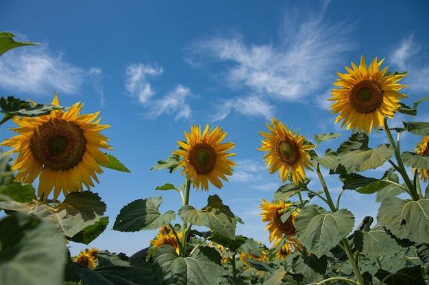 Jasne i żółte słoneczniki na polu w słoneczny letni dzień