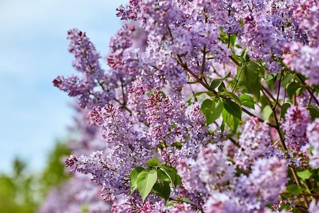 Jasne kwiaty bzu w piękny letni słoneczny dzień. duży bz piękności krzewy kwitną w naturze.